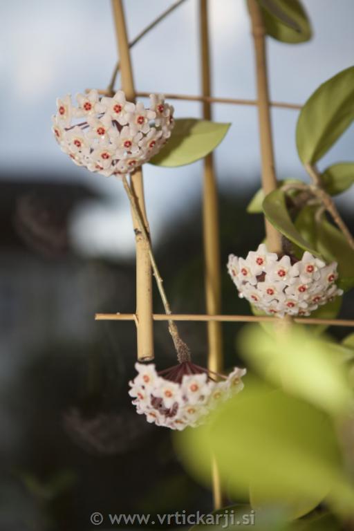Windhager Opora za lončnice, 60x30 cm, bambus